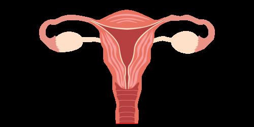 ilustração corpo feminino órgãos reprodutivos internos